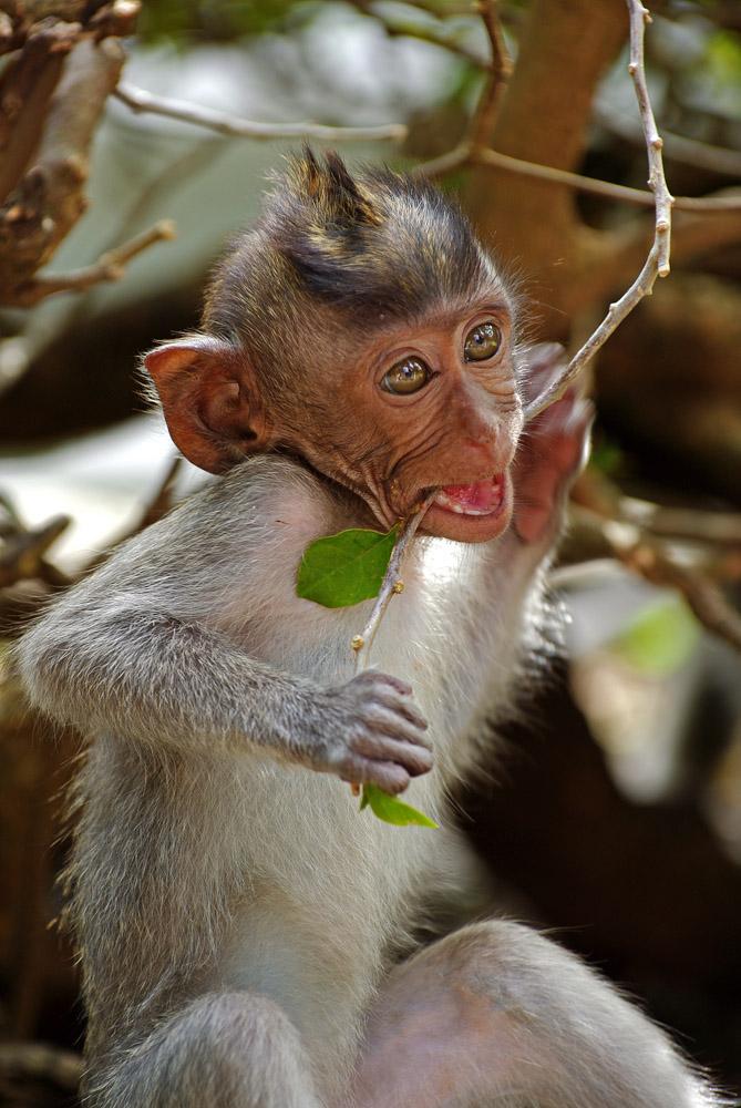 Affe in Monkey Park Bali 2