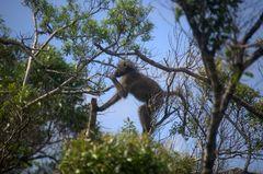 Affe in Südafrika