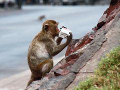 Affe mit Beute - wem er das wohl geklaut hat?