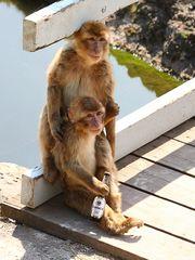 Affe mit Bierflasche