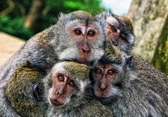 Affen-Bande