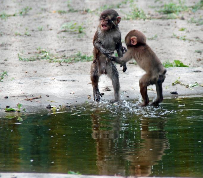 Affen beim Spiel