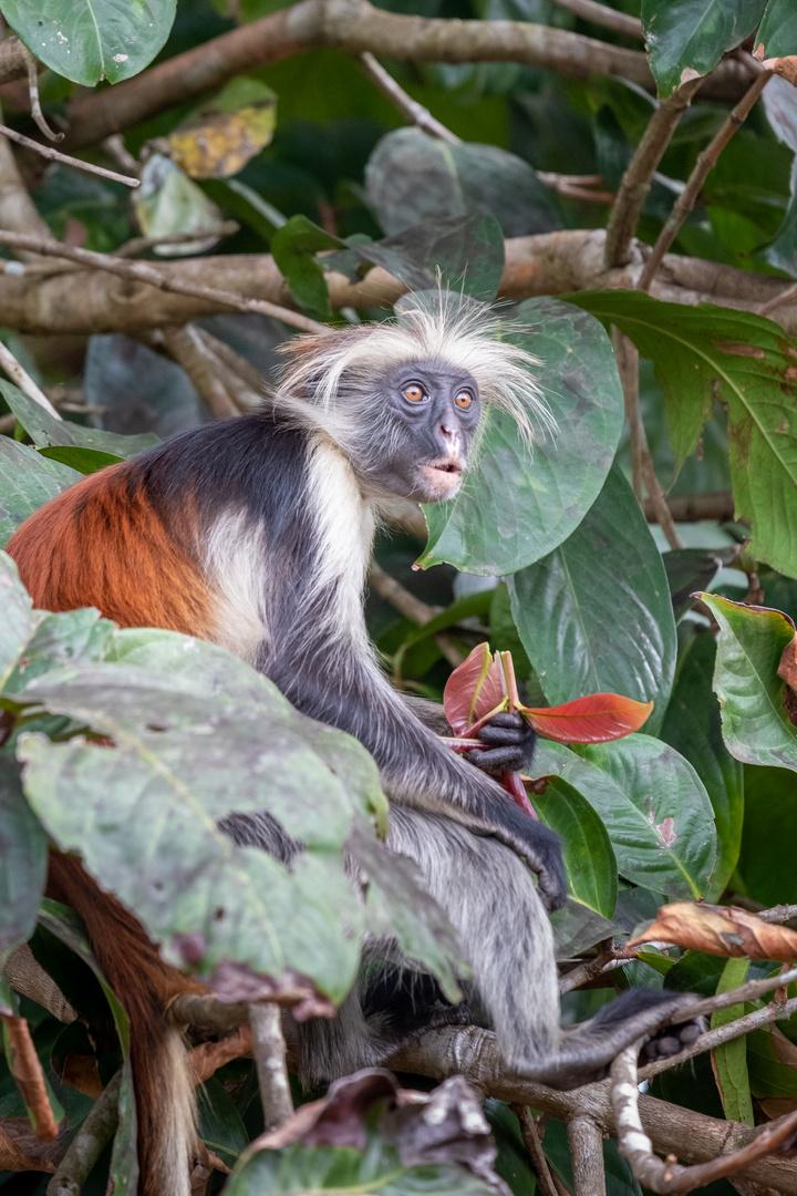 Affen im Jozani National Park 2
