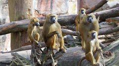 Affen im Zoo wer beobachtet wenn