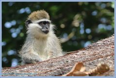 Affen in Äthiopien ....
