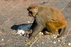 Affen in Pashupati
