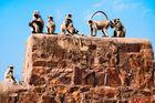 Affen in Rantambhore