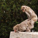 Affen - Kamasutra