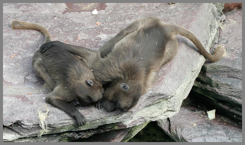 Affen-Liebe