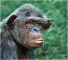 Affen - Portrait