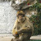 Affen von Gibraltar...Gehen die Affen gehen auch die Britten???