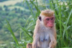 Affen-Weibchen