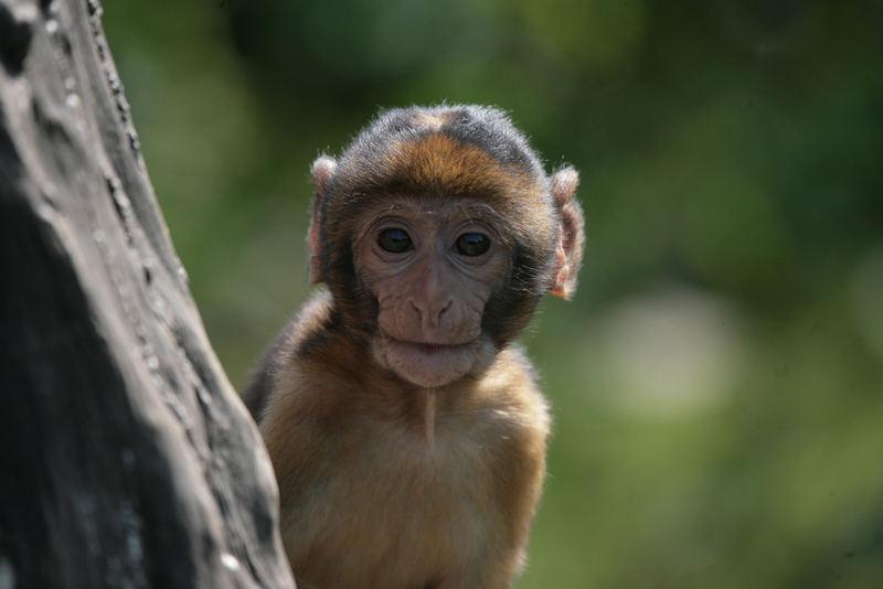 Affenbaby