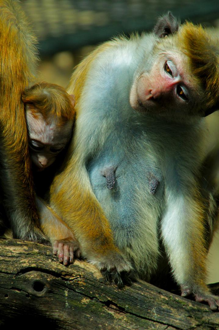 Affenbanden