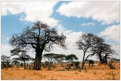 Affenbrotbäume in Tarangire