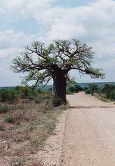 Affenbrotbaum - Südafrika