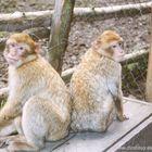 Affenbrüder