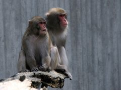 Affenpaar
