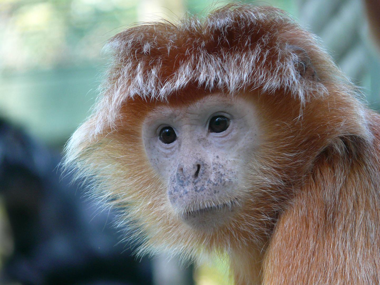 Affenporträt