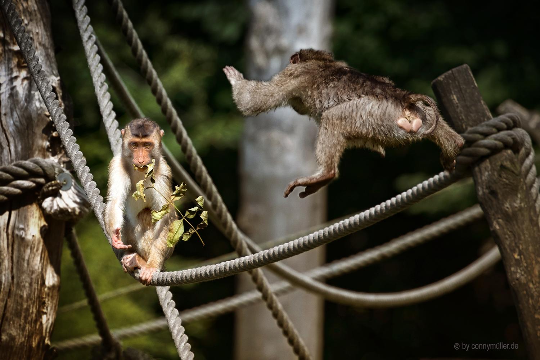 Affenschaukel Foto Bild Natur Zoo Tiere Bilder Auf Fotocommunity