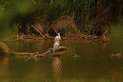 ...Affût dans le marais...