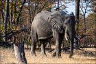 [ African Elephant ]
