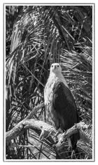 African Fish Eagle - St. Lucia Wetland