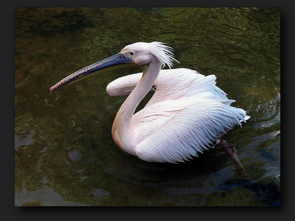 African pink pelican