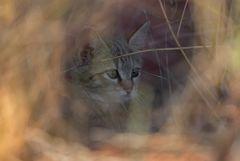 * african wild cat *
