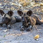 African Wild Dog Cubs