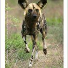 African Wild dog - Kruger National Park, South Africa