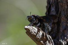 afrikanische Holzbiene