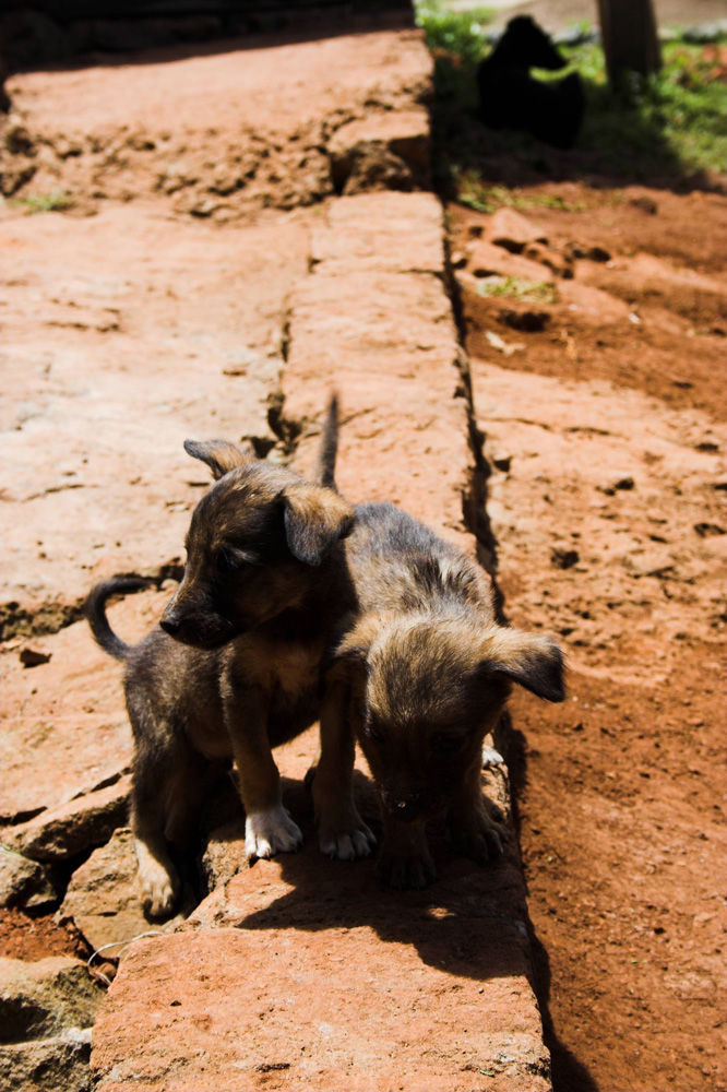 Afrikanische Hunde