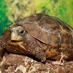 Afrikanische Schildkröte