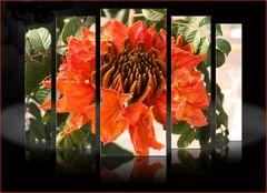 Afrikanische Tulpenblüte