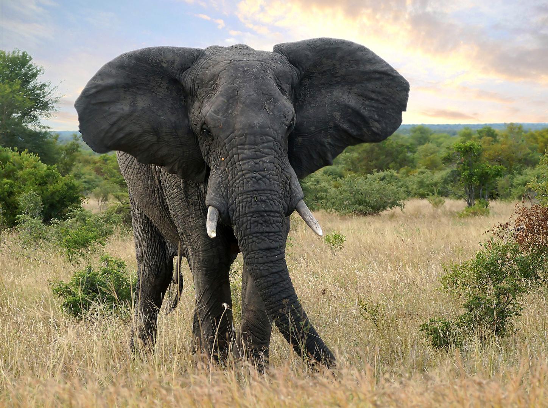 afrikanischer elefant foto bild tiere wildlife s ugetiere bilder auf fotocommunity. Black Bedroom Furniture Sets. Home Design Ideas