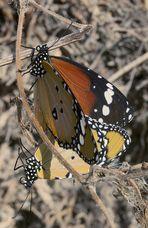 Afrikanischer Monarch bei der Paarung