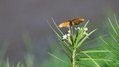 Afrikanischer Monarchfalter