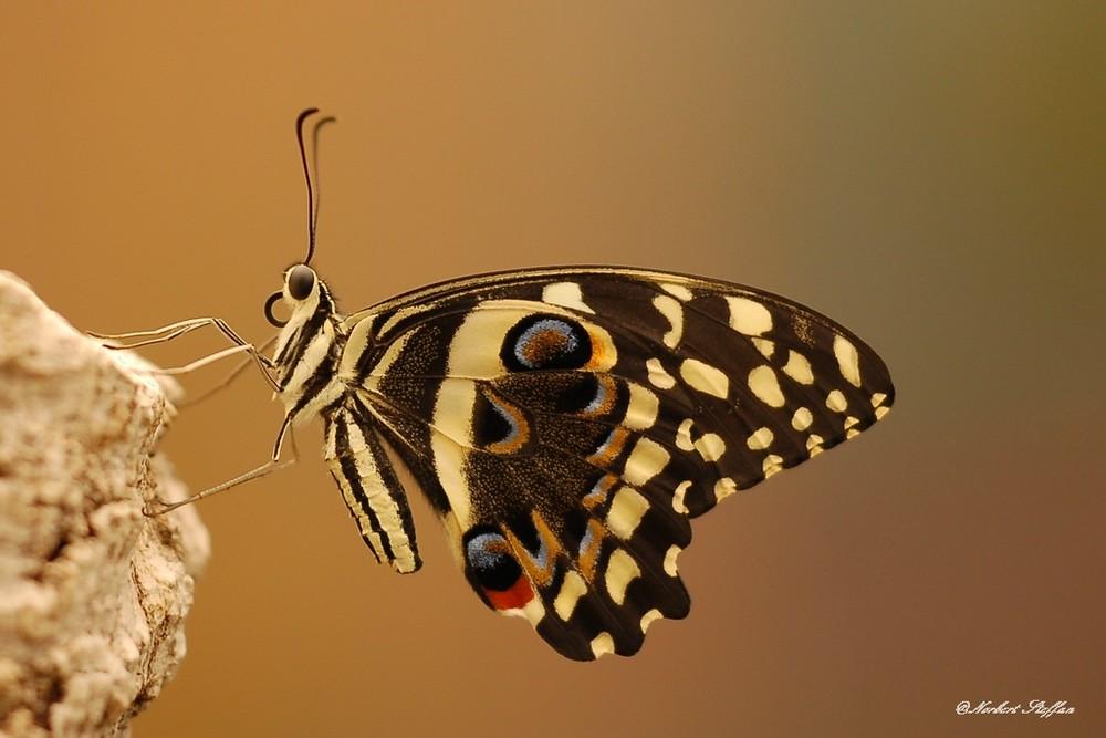 Afrikanischer Schwalbenschwanz