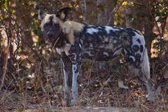 Afrikanischer Wildhund 2