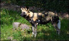 *Afrikanischer Wildhund*