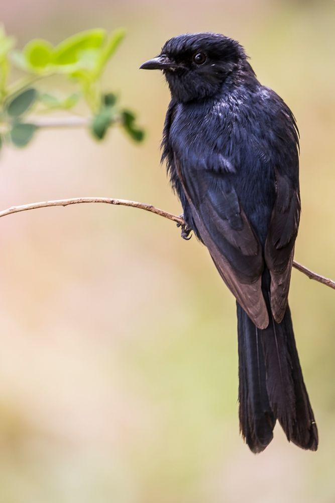 Afrikas Vogelwelt 11 - Trauerdrongo