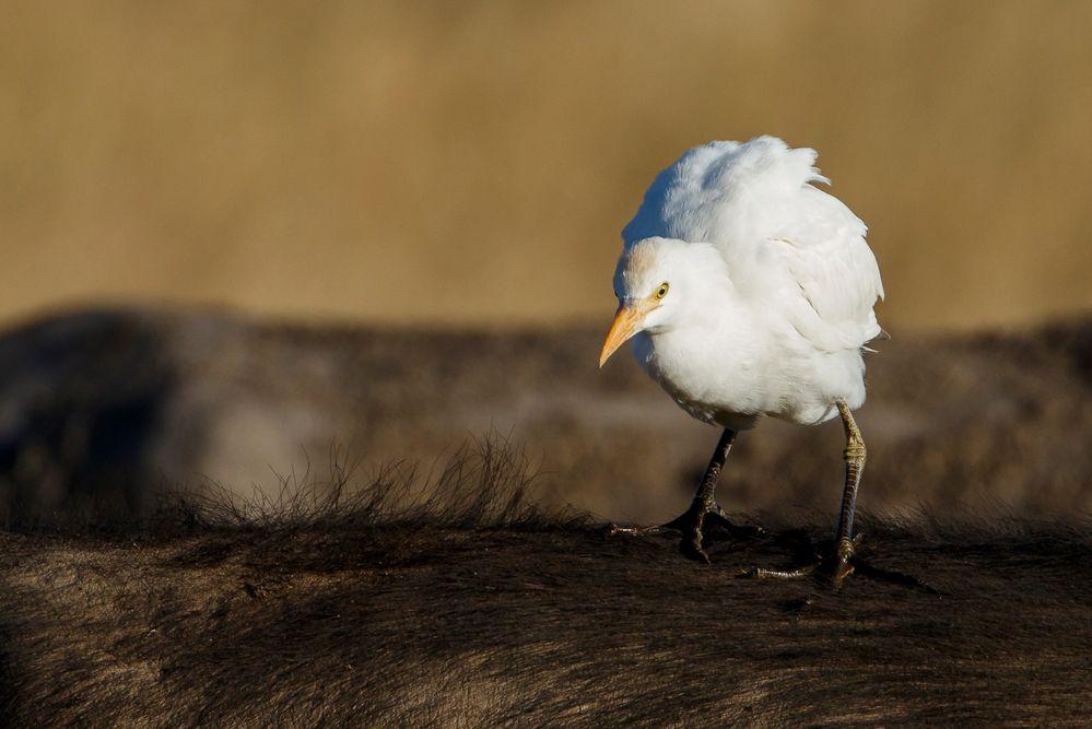 Afrikas Vogelwelt 17 - Kuhreiher