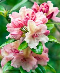 after the Rain - RHODODENDRON
