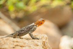 Agama Lizard - Afrikanische Regenbogen-Eidechse