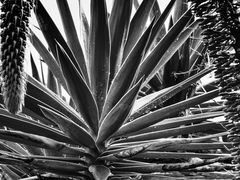 Agave in sw