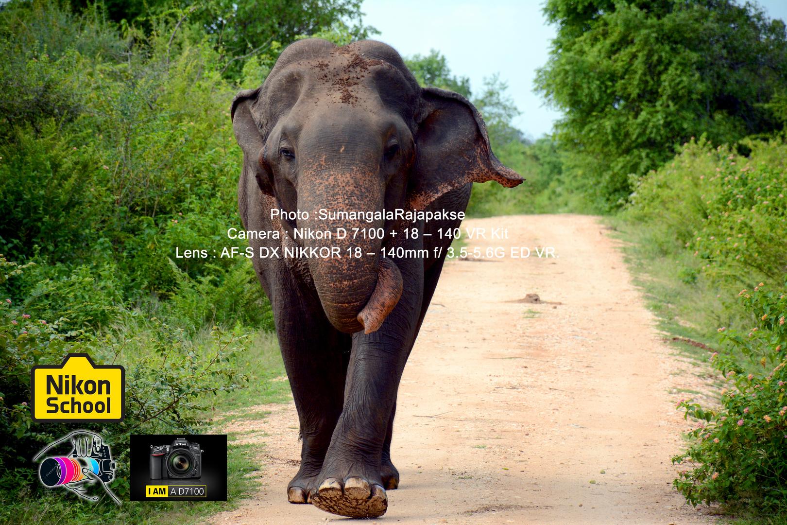 Aggressive Bull Elephant in Musth.