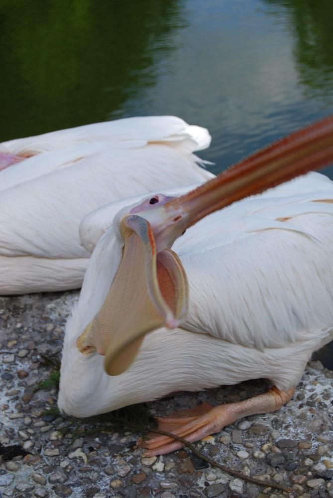 aggressiver pelikan :)