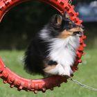 Agility - Sprung durch den Reifen (2)