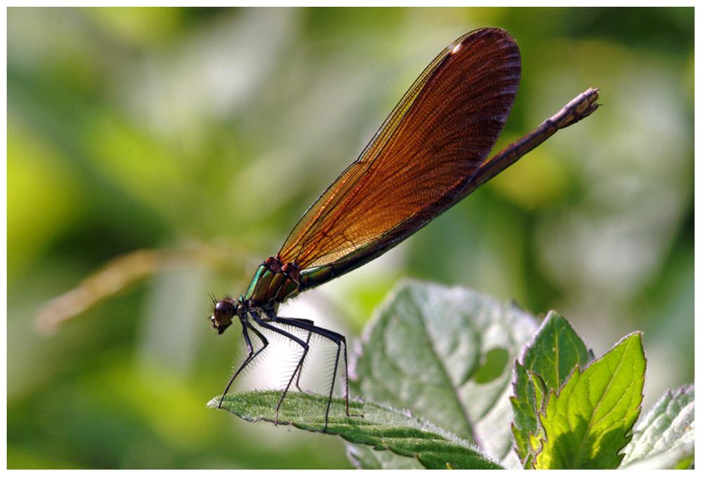 Agrion (Calopteryx virgo femelle)
